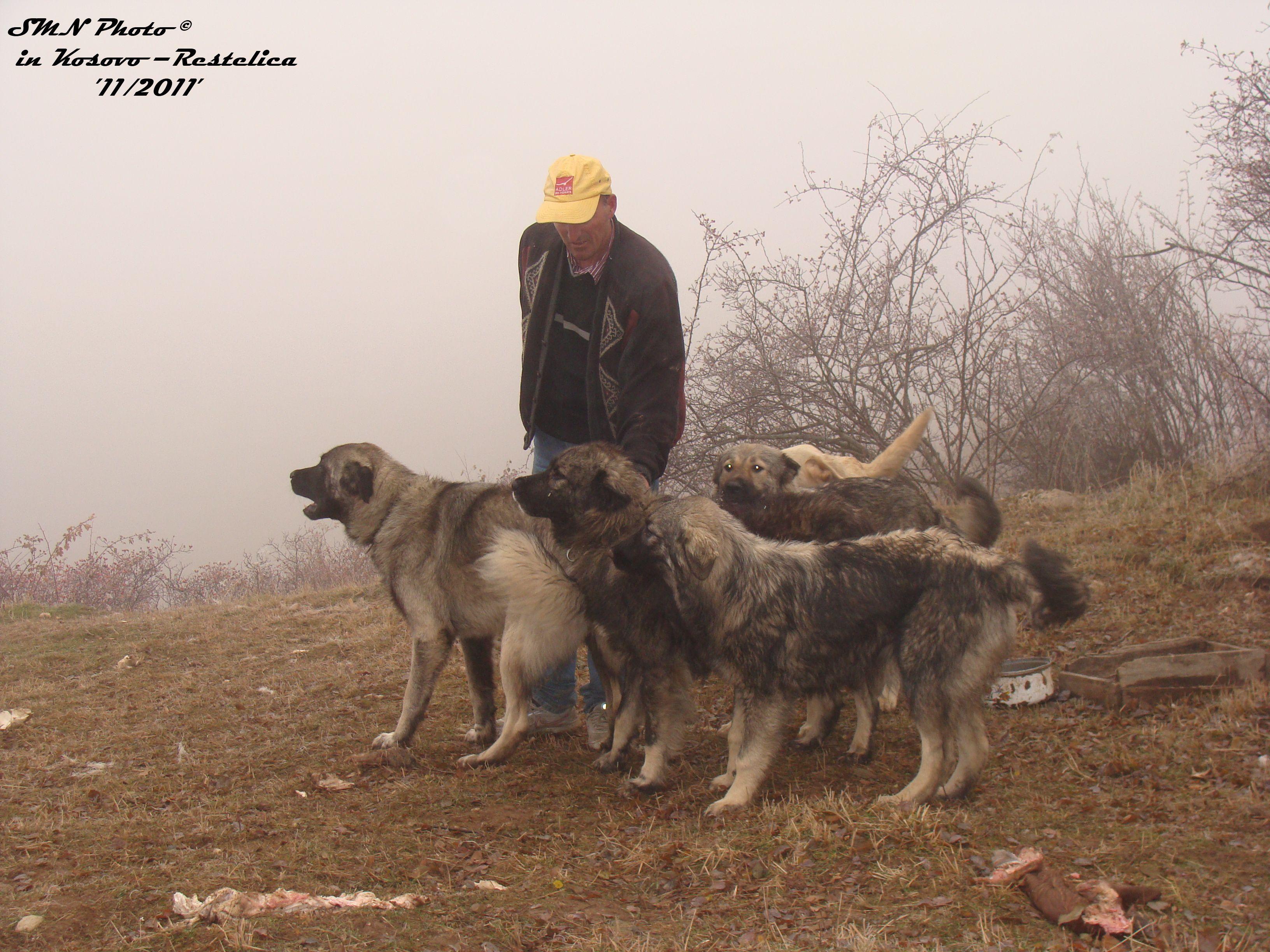 фото собаки породы крашская овчарка